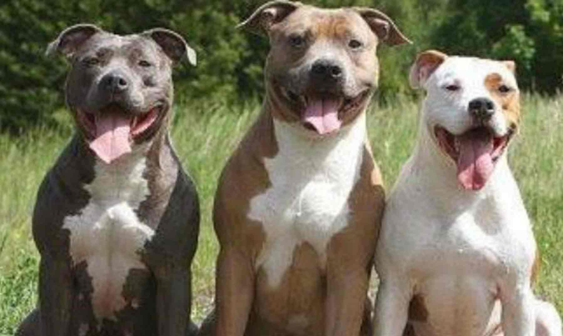 criar a un cachorro pitbull,adiestramiento a un pitbull,educar a un pitbull
