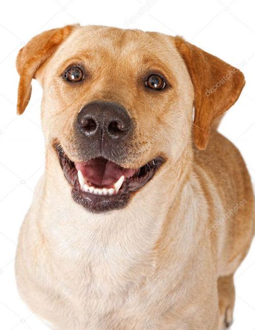 adiestrar un perro labrador,enseñar un perro labrador