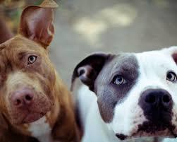 nombres de perras pitbull