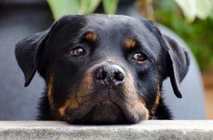 nombres de perros rottweiler hembra