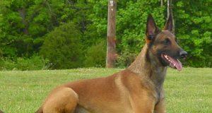 Nombres para perros pastor belga malinois