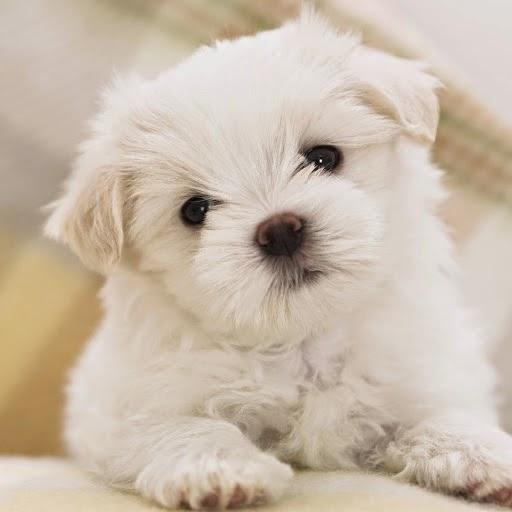 Mira Lista De Nombres Para Perros Maltes Super 4 Patas