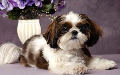 nombres para perros de raza shih tzu hembras