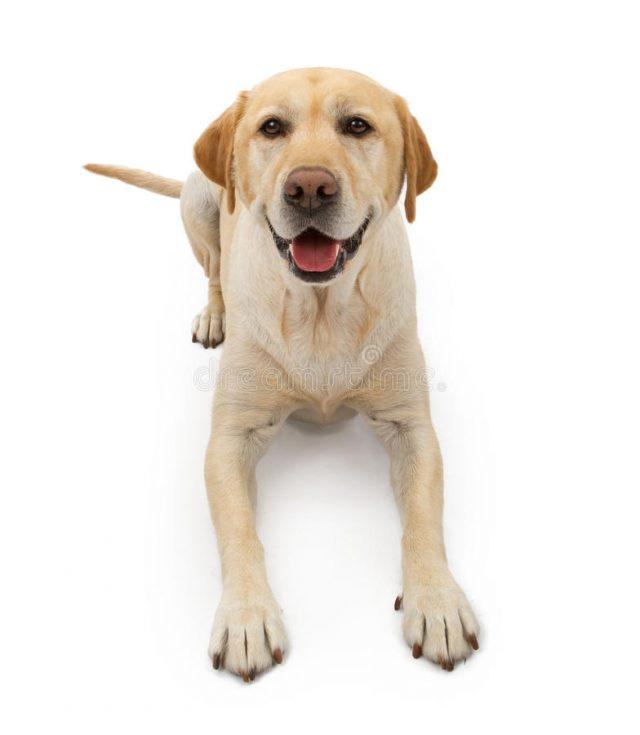 información del perro labrador