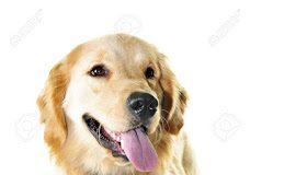 información del perro golden