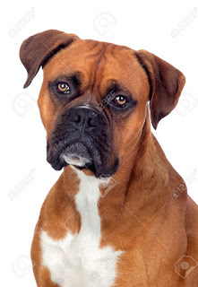 información del perro boxer