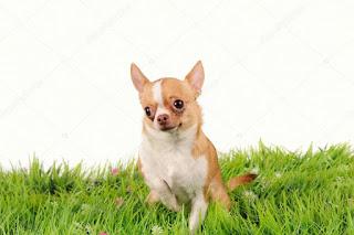 infromacion de los perros chihuahua
