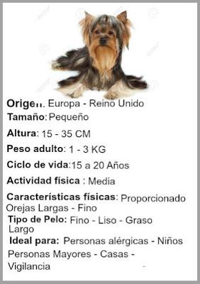 caracteristica del perro Yorkshire Terrier