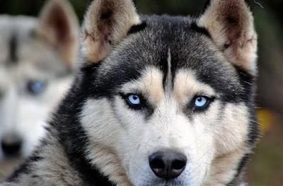temperamento del husky siberiano