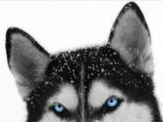 informacion del perro husky