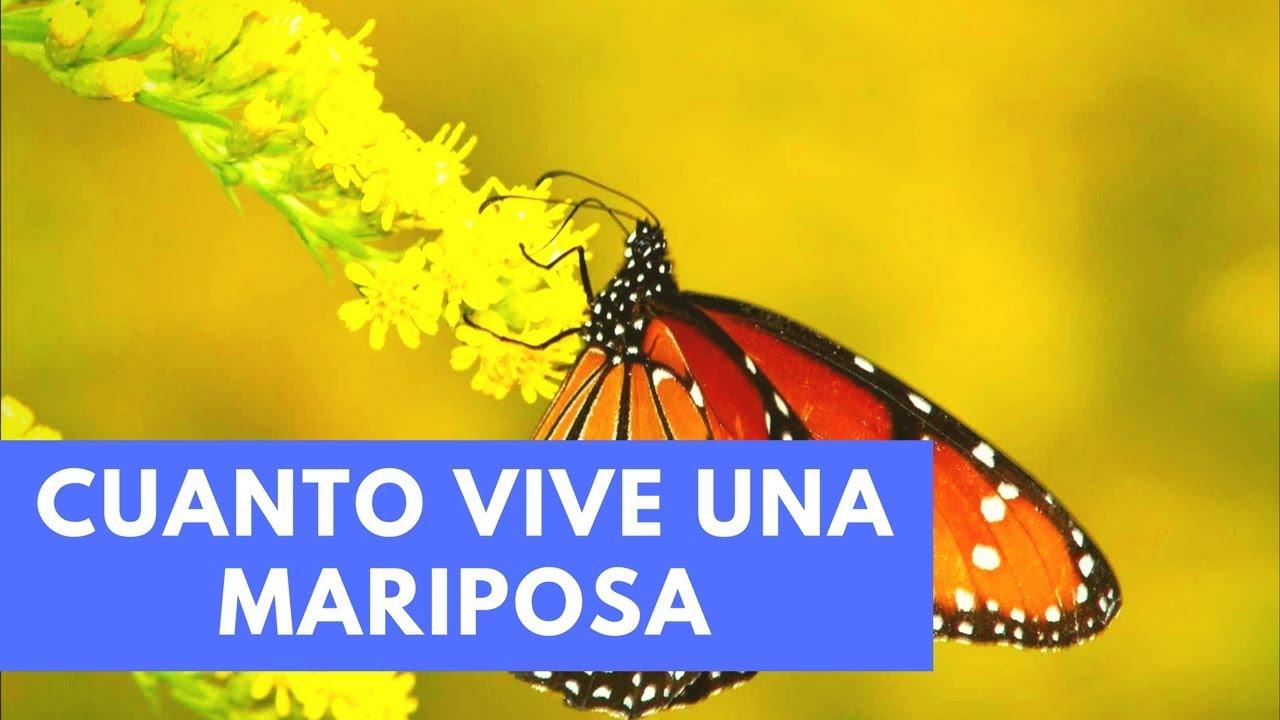 cuanto años vive una mariposa, que come una mariposa ,reproducion de una mariposa