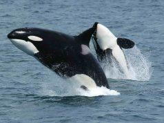 cuanto años vive una ballena