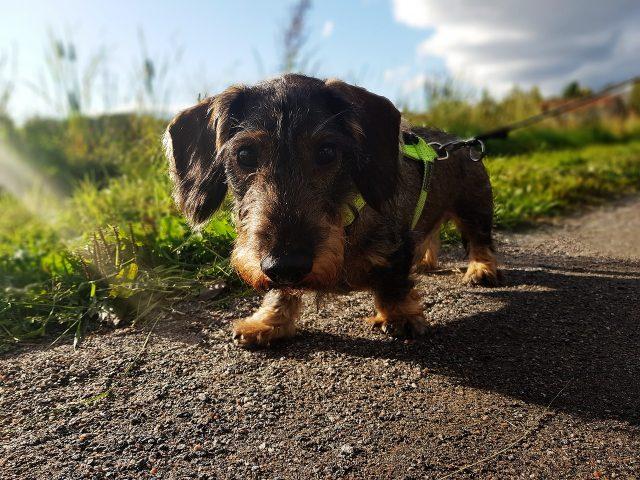 nombre para perros dachshund
