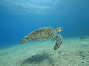 marinas,ciclos de las tortugas