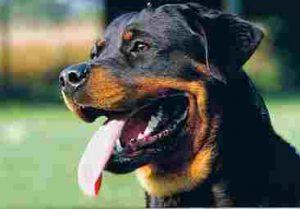 nombres para perros rottweiler macho y hembra