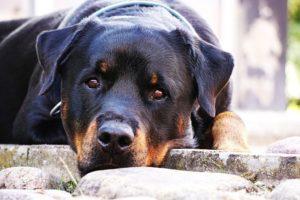 nombres de perros rottweiler