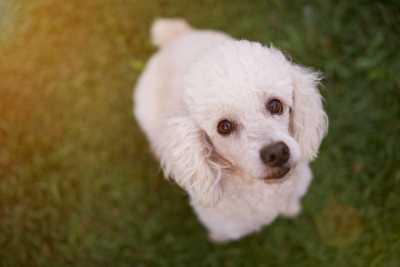 nombres de perros french poodle