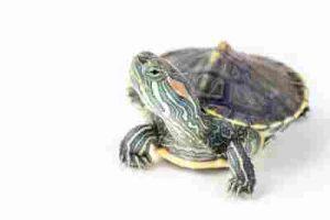 agua de dulce para Pasos cuidar una 5 tortuga kuPXZiTO