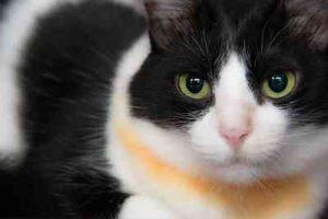 nombres para gatas negras con blanco