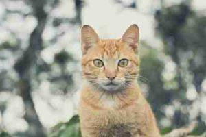 nombres para gatos machos amarillos